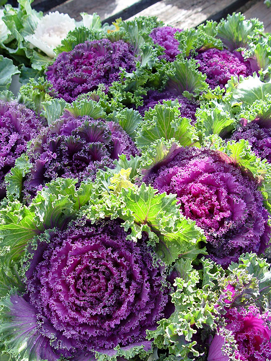 Brassica-ornamental-purple